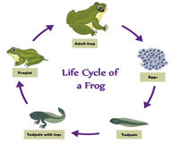 Life cycle of a frog - 5 stages chart