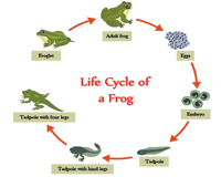 Life cycle of a frog - 7 stages chart