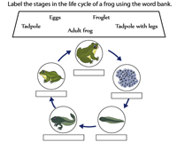 graphic relating to Frog Life Cycle Printable titled Daily life cycle of a Frog Worksheets