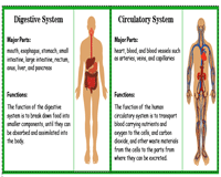 Human Body Systems & their Functions