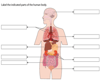Label the Organs in the Human Body