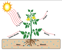 Photosynthesis Basic Chart