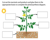 Photosynthesis Process | Activity