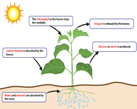 Photosynthesis Process | Descriptions