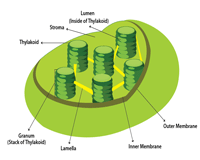 Structure of the Chloroplast | Chart