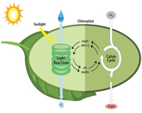 The Two Phases of Photosynthesis | Chart