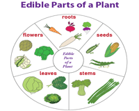 Edible parts of a plant chart