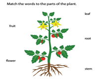 Parts of a plant | Matching activity